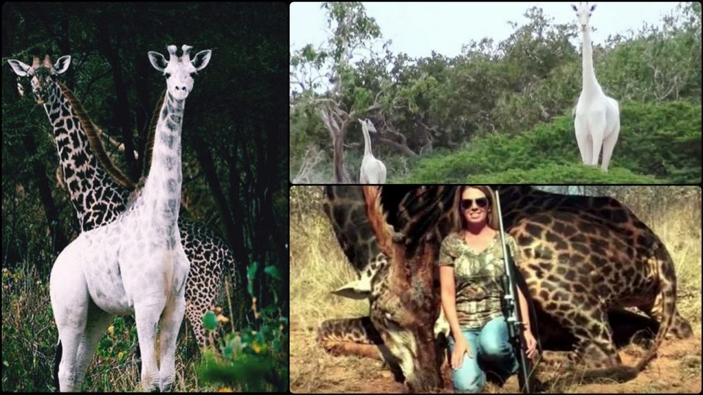 Poachers Have Killed The Only White Female Girrafe And Her Calf In Kenya